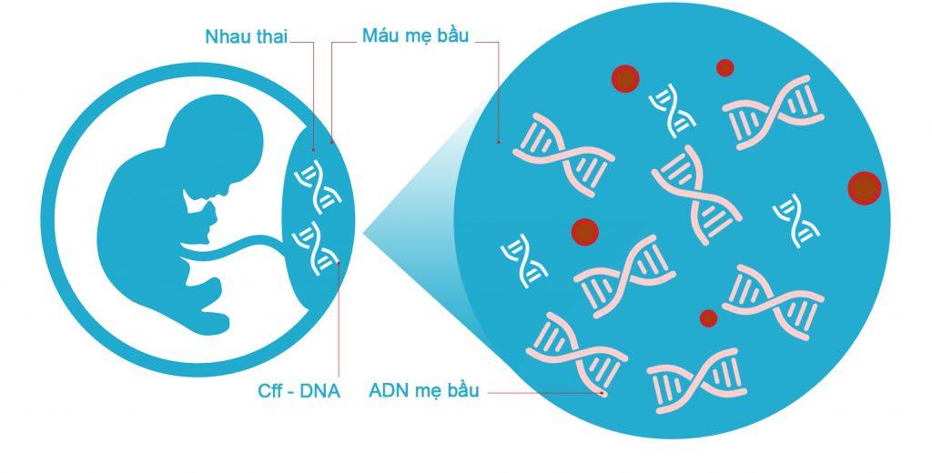 Sự tồn tại của cff-DNA, cơ sở khoa học để làm xét nghiệm ADN thai nhi không xâm lấn.