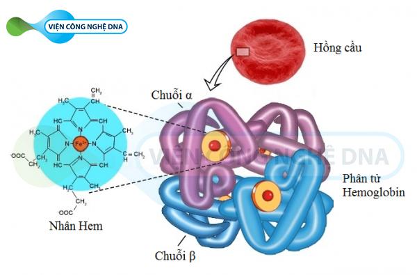 Điện di huyết sắc tố là xét nghiệm phát hiện bệnh Thalassemia phổ biến nhất